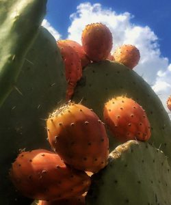 Cactus Pears of Greece