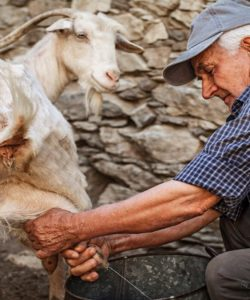 The unique foods of Greece and their health benefits – Goat's Milk